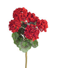 Geranium Bush (Set of 6)