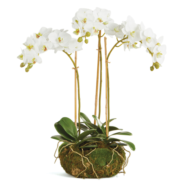 Phalaenopsis Orchid Mini Garden Drop-In 16""