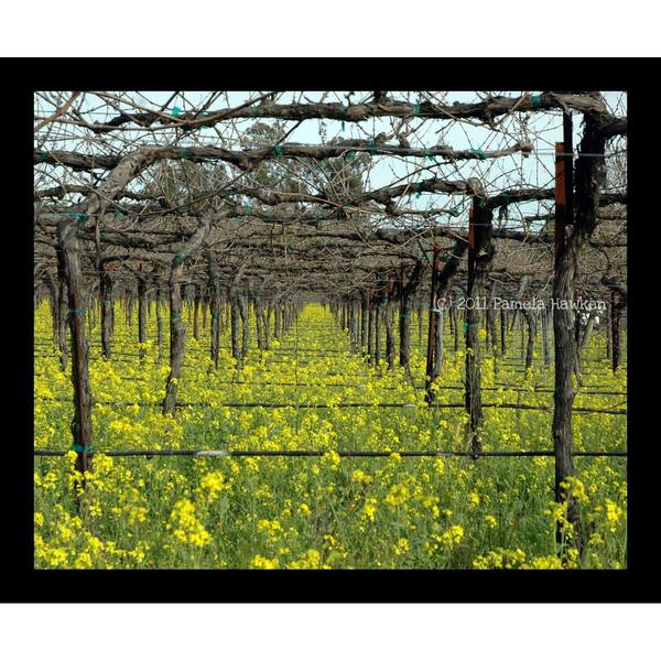 Mustard flowers in Grapevines
